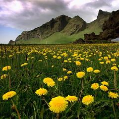 Fflar (h) Tags: flowers mountain field yellow landscape iceland farm dandelions fflar landslag eyjafjll tn