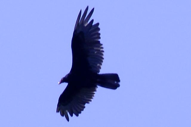 flying turkey vulture b