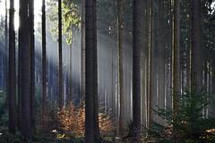 _DSC9232 mit dem Sonnenuntergang im Wald - with the sunset in the forest (baerli08ww) Tags: light colors forest germany landscape deutschland licht nikon eveningsun ngc natur npc landschaft wald farben rheinlandpfalz abendsonne westerwald rhinelandpalatinate coth5
