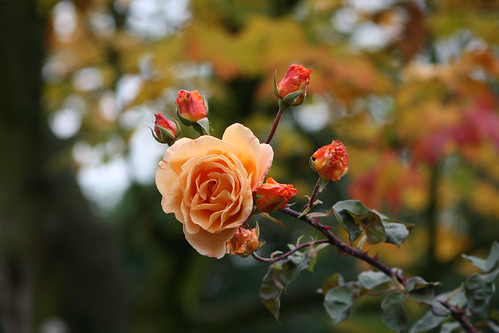 Peach Rose and Buds