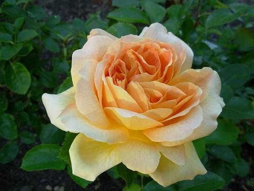 Roses 005