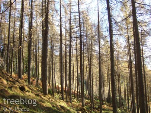 larch plantation near Aberfoyle