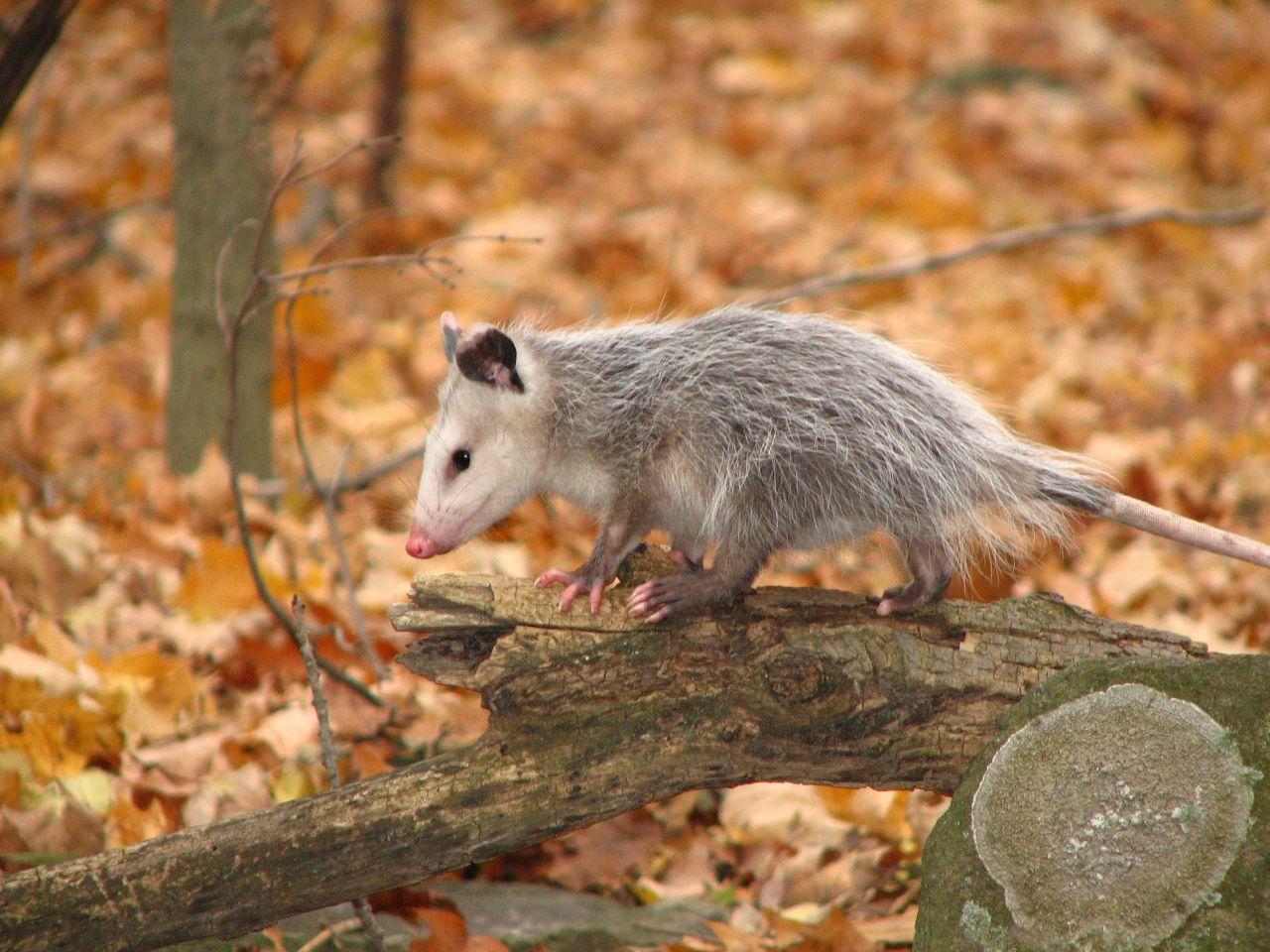Animal Tracks  Opossum Didelphis virginiana