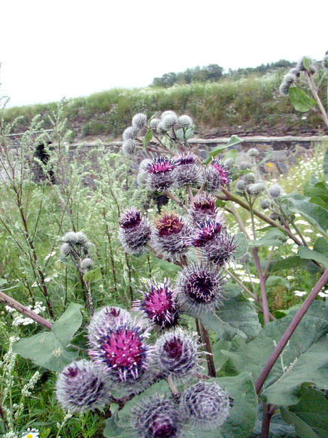 Burdock on the Roof