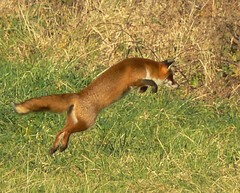 fox pounce (Neil Phillips) Tags: park uk red england nature mammal jump jumping shot action wildlife hunting canine fox british pounce leap essex leaping hunt carnivore redfox vulpesvulpes bedfords romford pouncing carnivora naturesfinest vulpes platinumphoto pdpnw