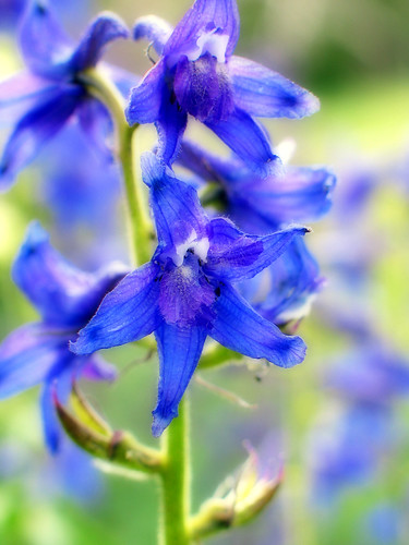 subalpine larkspur by Abizeleth.