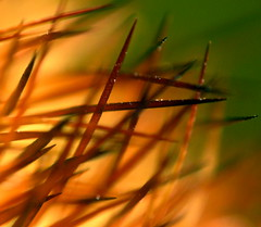 Cactus needle bokeh (kevin dooley) Tags: cactus needle bokeh macro closeup orange red brown green yellow sharp pointed needles dof extreme 24x plant plantware desert southwest arizona phoenix chandler canon g7 lensmate aplusphoto superaplus thorn thorny thornysituation superaplusphoto colourartaward diamondclassphotographer powershot home front yard outside outdoors good best very most happy fun beautiful striking dramatic excellent brilliant spectacular popular flickr photograph photographer photo camera december 29 christmas new years 2007 2008 lens adapter book0 book