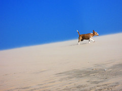 escalando (Marcelo Nakashima) Tags: brazil dog praia beach brasil landscape sand jericoacoara areia dune playa paisagem perro cachorro cear duna soe flickrsbest platinumphoto anawesomeshot impressedbeauty diamondclassphotographer excellentphotographerawards betterthangood bestminimalshot