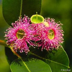 Pink Flowering Gum Tree (Eucalyptus ficifolia)