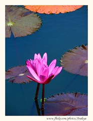 Togetherness (Araleya) Tags: life travel pink bali plant flower water garden indonesia fz20 togetherness pond colorful asia southeastasia waterlily artistic small poetic panasonic zen aquatic ubud lively smallisbeautiful twobecomeone beautfiul araleya happycolors abigfave leicadigital pdpnw superbmasterpiece diamondclassphotographer flickrdiamond theperfectphotographer