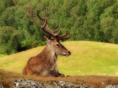 King of The Hill (Orton) (uglybugga) Tags: scotland stag deer antlers orton kingussie highlandwildlifepark outstandingshots abigfave anawesomeshot