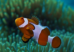 PA274200 copy (omniped) Tags: ocean bali fish macro indonesia underwater nemo photos clown scuba diving western lombok anemonefish gilliair e410