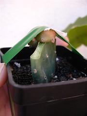 lophophora williamsii variegada injerto (jarekcactus) Tags: opuntia graft lophophora williamsii injerto myrtillocactus