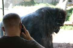 cell phone user and gorilla