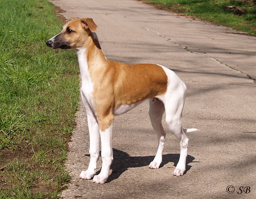 Whippet: Animagi's Arctic Wolf (Quentin)