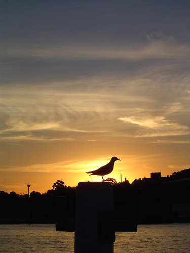 Sunset Gull
