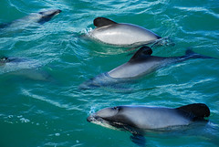 Hector's Dolphins (geoftheref) Tags: ocean new sea newzealand cloud mer white water nova animal mammal island la mar interestingness interesting marine meer long flickr mare pacific harbour dolphin south zeeland canterbury zealand dolphins nz land endangered kiwi peninsula aotearoa nueva dauphin nouvelle banks hectors dolfijn zelanda neuseeland zelandia nuova akaroa delfino nieuw threatenedspecies delphin golfinho delfn zelndia  zlande hectorsdolphins hectorsdolphin canterburynz  cephalorhynchushectori geoftheref overzees     dolphinpcc