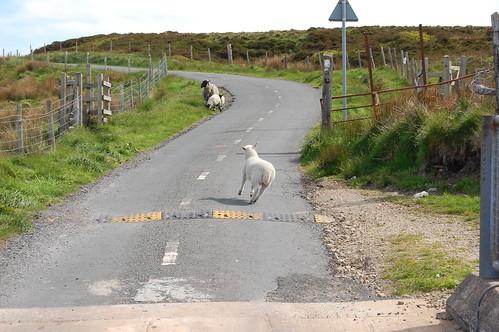 Run lamb run