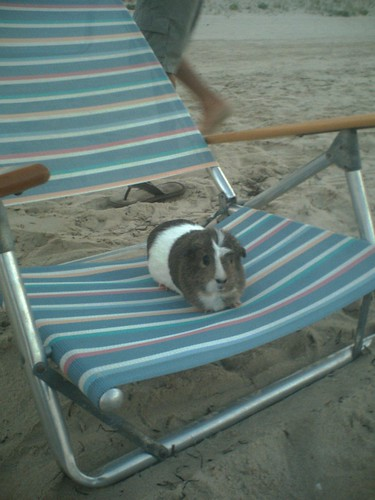 Piggie on the beach