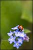 Ladybird (lizzieerwood) Tags: flower macro insect leaf ladybird ladybug forgetmenots canon400d ef100mmmacrof28