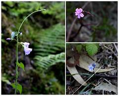 Diminutas (khuasi) Tags: escondidas diminutas frgiles tmidas secretosdebosque guiosdecolor poemasconluz