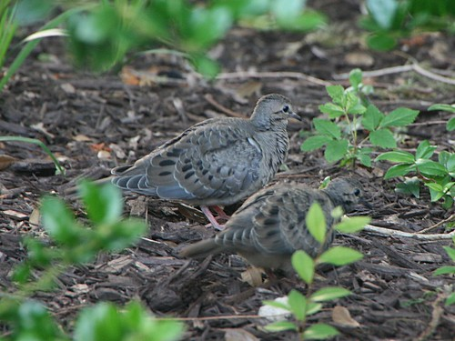 CommonGroundDove