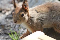 Kurre (huhtikuun likka) Tags: squirrel orava kurre