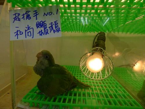 萬華鳥街-和尚鸚鵡寶寶