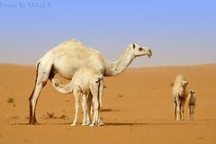 Mom I want milk like other (TARIQ-M) Tags: texture landscape milk sand waves desert dunes mother camel camels riyadh saudiarabia ام بر الصحراء جمال الرياض حليب صحراء رمال جمل ابل رمل طعس نياق المملكةالعربيةالسعودية canon400d الرمل ناقة خطوط حاشي نفود الرمال كثبان تموجات canonefs18200mmf3556is تموج blinkagain نفد