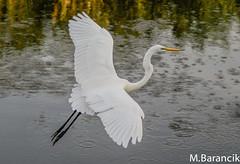 Great White Egret Pelican Bay Florida (maurice.barancik) Tags: birds greategret greatwhiteegret flyingegret birdsonbermandbeachspring2012