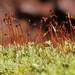 Leucobryum Moss (Leucobryum sp.)