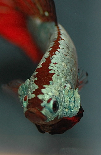 betta fish, looks like a Japanese Koi pond fish