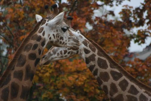 Affectionate Giraffes