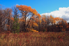 Golden Tree (2) (Rock Steady Images) Tags: autumn ontario canada tree fall leaves canon eos 350d rebel xt foliage brucetrail supershot sigma1770mmf2845dcmacro lenssigmadc1770mm 7pointsystem bypaulchambers rocksteadyimages