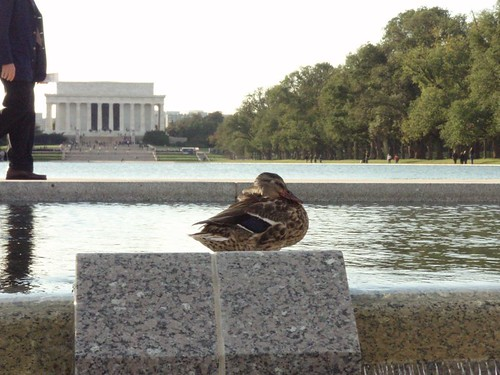 A Washington Duck Watches Over the Memorials