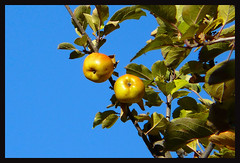Mele nel cielo - Apples in the sky (DiFo&Natura) Tags: blue tree fruits yellow azul blu giallo cielo apples albero azzurro frutta mele smrgsbord scky