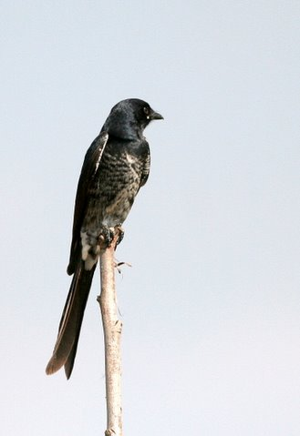 black drongo juv 091107