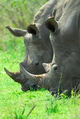 Horny couple (jeremyhughes) Tags: two southafrica twins nikon eating horns double explore rhino endangered d200 dual horn nikkor rhinoceros grazing gamereserve whiterhino hluhluweumfolozi ceratotheriumsimum jeremyhughes nikond200 squarelippedrhino 300mmf4d mywinners