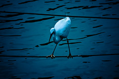 Deep blue: Bird (manganite) Tags: park blue white lake color heron colors birds animals japan digital dark geotagged tokyo interestingness nikon colorful asia ueno tl explore  onecolor nippon  d200 nikkor dslr toned vignette nihon kanto thecolorblue uenokoen shinobazu wildlifephotography 10faves interestingness379 i500 flickrsbest 18200mmf3556 utatafeature manganite nikonstunninggallery wildlifeasia anawesomeshot date:year=2006 geo:lat=35711847 geo:lon=139770482 date:month=july date:day=8 format:ratio=32