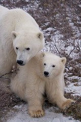 wild polar bear cub and mom (Rolf Hicker Photography) Tags: world bear travel winter wild canada cute nature animal animals photography cub tiere photos wildlife bears manitoba polarbear churchill mammals polarbears marinemammal globalwarming hudsonbay bearcub naturephotography ursusmaritimus cuteanimals marinemammals babyanimal babyanimals travelphotography preditor bearcubs tundrabuggy canadacanada rolfhicker polarbearcub canadapictures polarbearcubs canadaphotography manitobamanitoba churchillwildlifemanagementarea honeymooncanada polarbearpictures tundrabuggytour picturesofcanada hickerphotocom