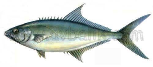 2112688006 dbab0fa751 akya balığı nasıl avlanır