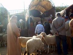 marché spécial (Corinne Béguin) Tags: sheep morocco maroc casablanca moutons aïdelkebir