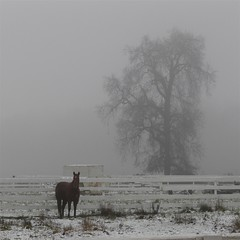 Horse in Snow & Fog (judi berdis) Tags: horses snow fog nca willits mendocinocounty blueribbonwinner littlelakevalley