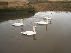 Swans 01 (Vintage Ikon) Tags: sea milford on