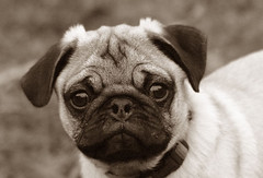 Teddy Close up (Cal Bear 94) Tags: cute sepia puppy teddy pug wrinkles supershot smushface golddragon abigfave brillianteyejewel llovemypic