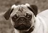 Teddy Close up (Cal Bear 94) Tags: cute sepia puppy teddy pug wrinkles supershot smushface golddragon abigfave brillianteyejewel llovemypic