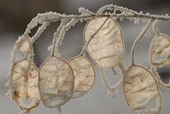 ICE AGE FOR MY LUNARIA (picaddict) Tags: garden deutschland frost searchthebest hoarfrost seed explore moneyplant polaris lunaria lunariaannua silbertaler naturesfines megashot macroaward naturewatcher goldstaraward pluwig ahqmacro