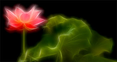 Fractalius Red Lotus Flower with green leaf / green / red / nature /  on black background - IMGP8189 - , , ,  , Fleur de Lotus, Lotosblume, , , (Bahman Farzad) Tags: red flower macro green nature fleur yoga de leaf peace lotus relaxing peaceful meditation therapy redflower   lotusflower lotusflowers lotuspetal  redlotusflower lotuspetals  lotosblume  fractalius  lotusflowerpetals lotusflowerpetal
