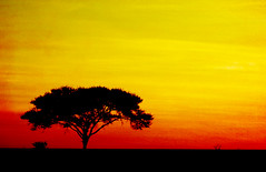 One of a few. (Matzepeng) Tags: africa sunset orange sun tree texture golden nationalpark dusk layer savannah namibia etosha solitarytree highveld acaciatree 35faves colorphotoaward superaplus aplusphoto favemegroup3 flickrlovers africanacaciatree