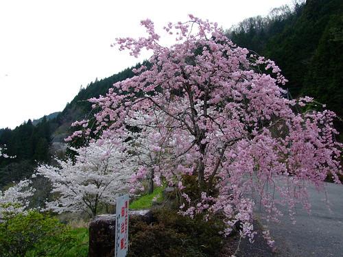 矢作ダムの桜